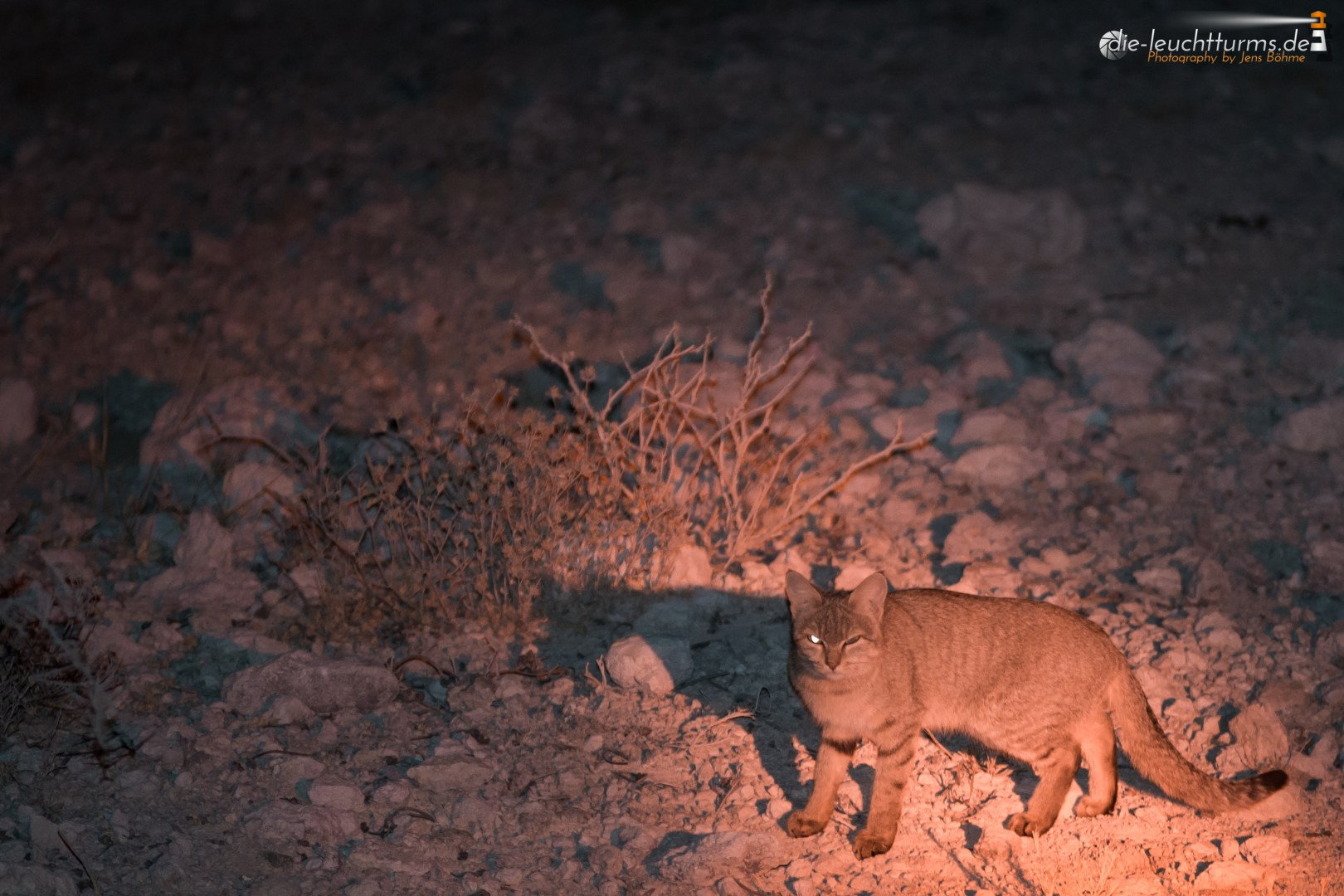 South african wildcat
