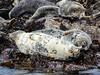 Basking seals (1)