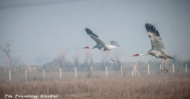 Sarus Crane (5)