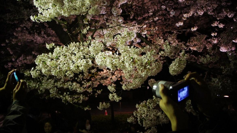 Sakura flowers at Chidorigafuchi