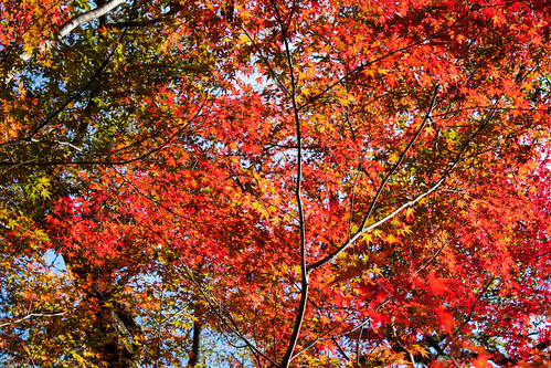 Autumn leaves (紅葉)