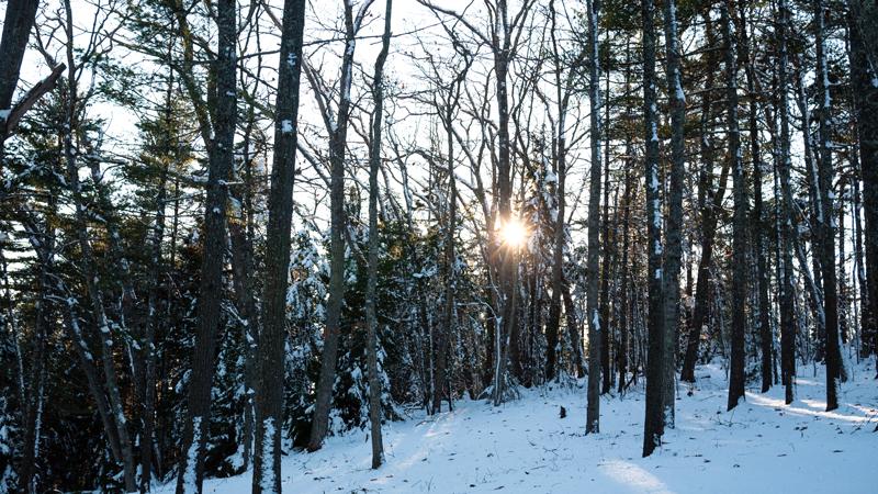 Snowy Tree in Maine