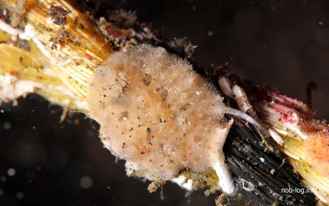 マンリョウウミウシ