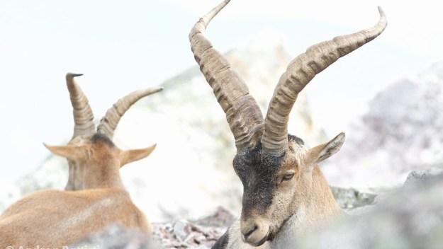 16661792585_95c23190c9_c Amazing Footage of Wild Alpine Ibex (Goats) Climbing a Near Vertical Wall of an Italian Dam for Nutritious Salt Random