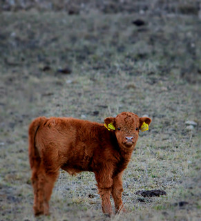 Tjurkalv /Baby calf Higland Cattle (Explored)