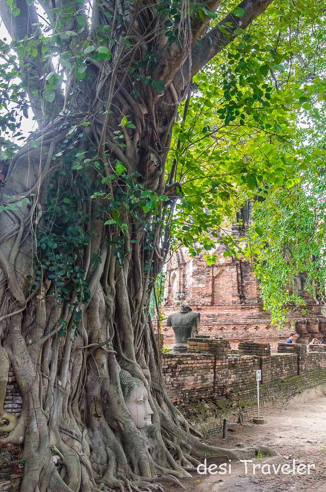 Buddha Head Tree Root