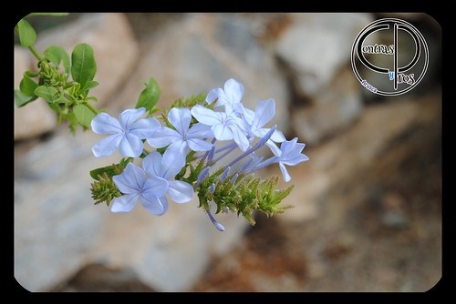 Celestina azul, segundo cumpleblog
