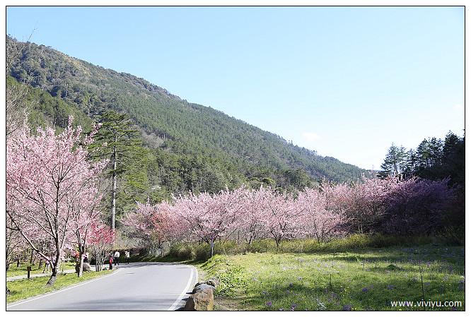 台中,旅遊,櫻花,武陵農場,粉紅佳人,賞櫻 @VIVIYU小世界