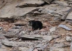 Photo of black bear on hillside