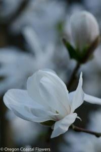 white magnolia blossoms