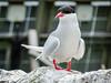 Arctic Tern close-up (2)