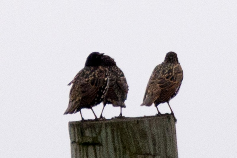 _DSC3405 European Starlings