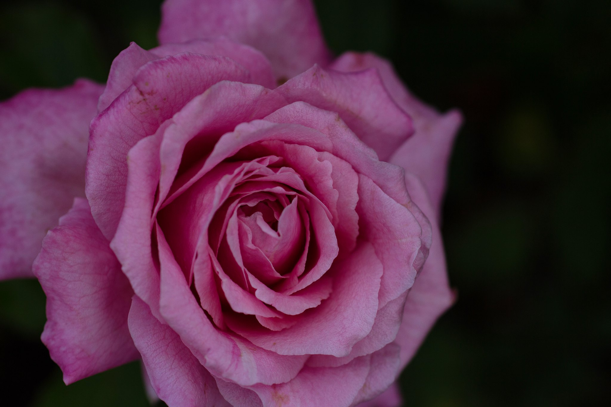 last of the pink summer roses