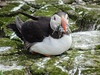 Puffin with sand eels (1)