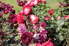 Rose garden adelaide 2