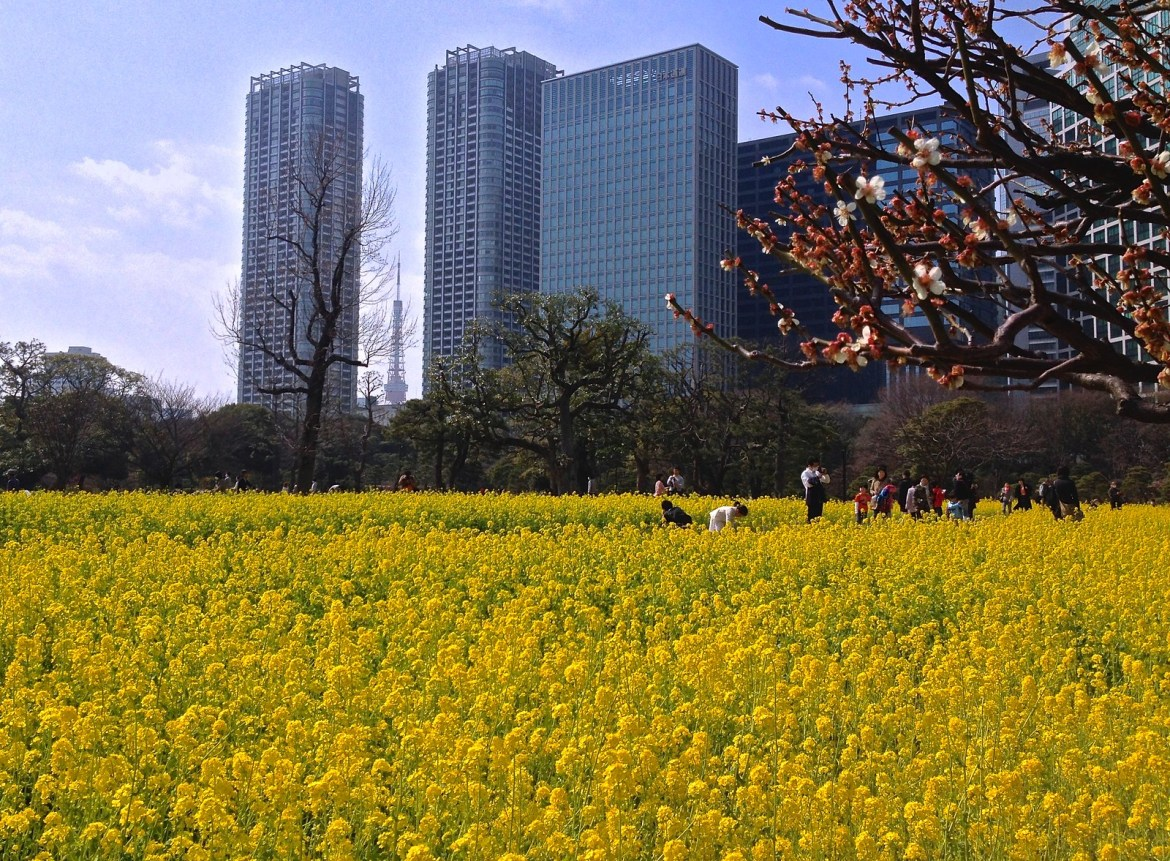 Yellow Rapeseeds and Sakura flowers at Hamarikyu Gardens