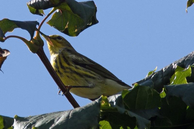 _DSC4166  Cape May Warbler