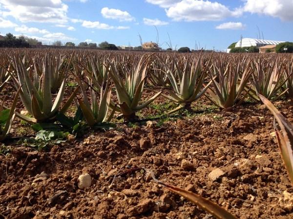 Aloe Vera Farm Mallorca