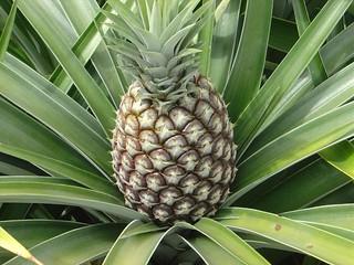 Abacaxi natural