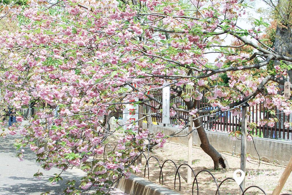 大阪造幣局 櫻花 48
