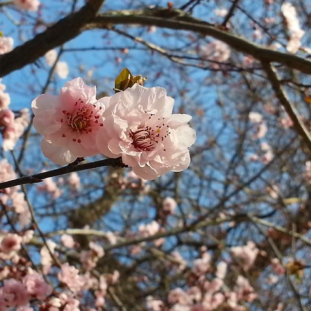 This is #Paris today!  #bluesky #blossoms #Bonheur