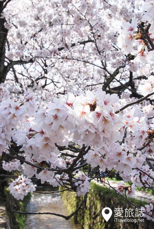 京都赏樱景点 哲学之道 42