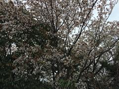 桜、風に負けるな〜