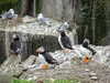 Puffins and kittiwakes (1)