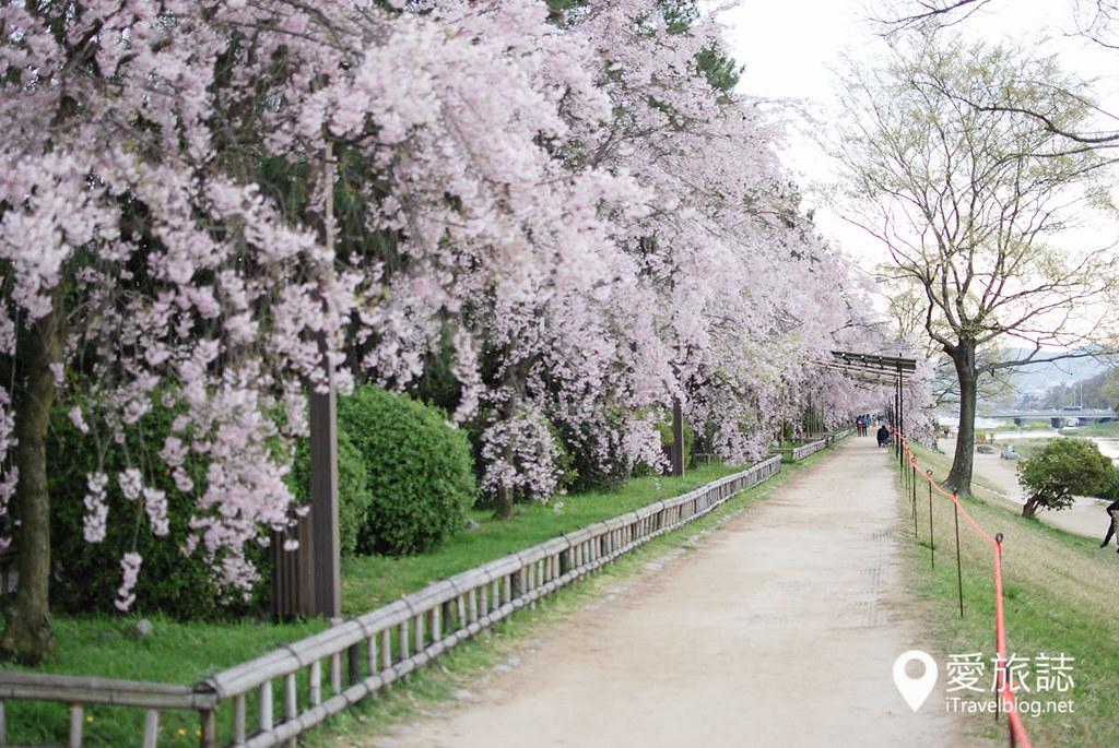 京都赏樱景点 半木之道 24