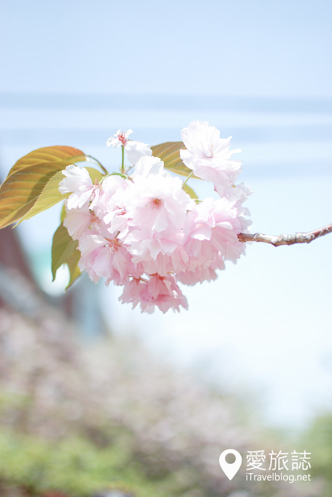 大阪造幣局 櫻花 55