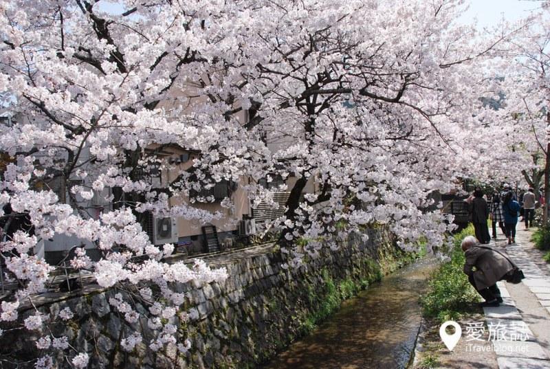 京都赏樱景点 哲学之道 32
