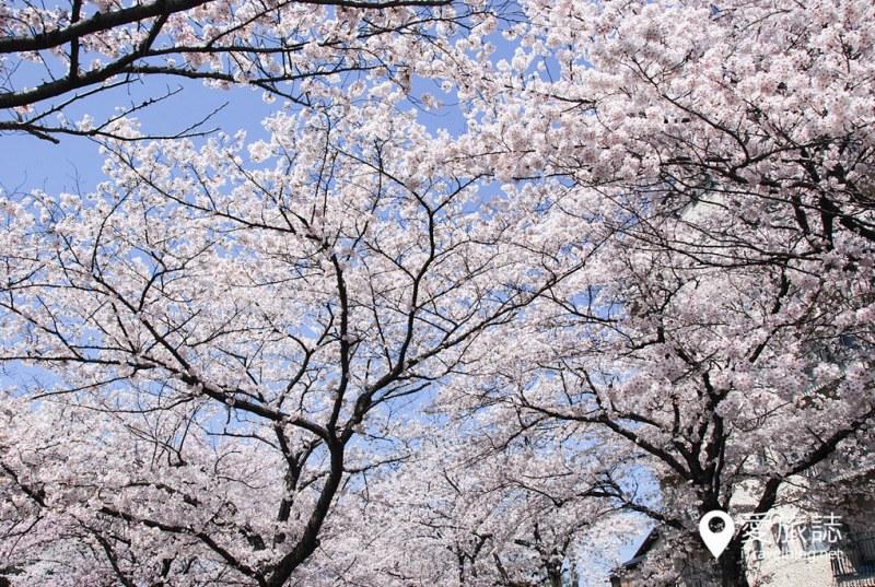 京都赏樱景点 哲学之道 45