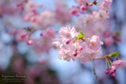 しだれ桜 20150330-DSCF9992