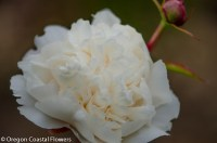 ugly white peony