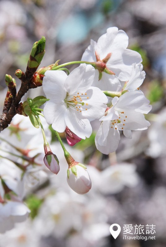 京都赏樱景点 哲学之道 25
