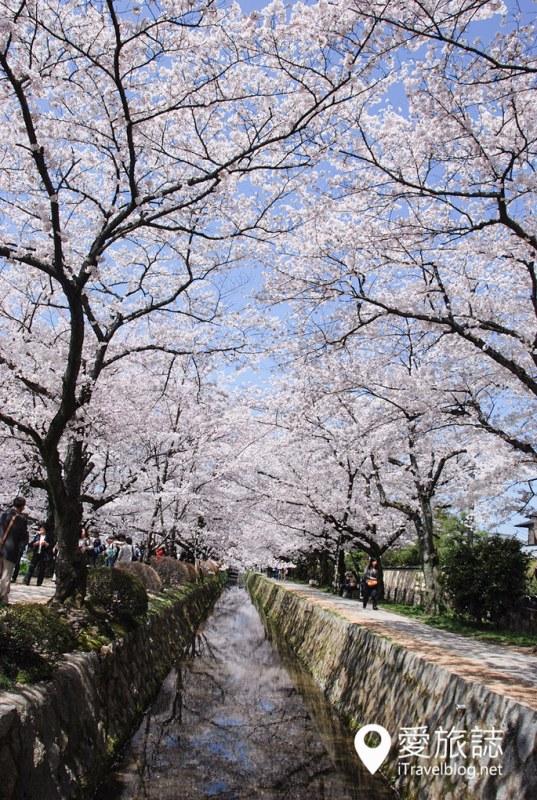 京都赏樱景点 哲学之道 10