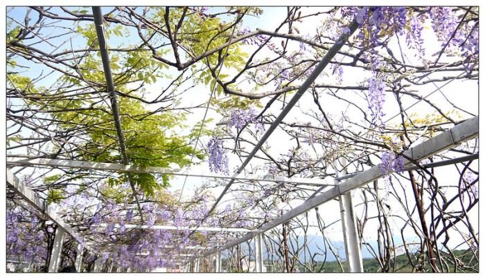 紫藤咖啡園 12
