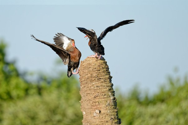Black Bellied Whistling Duck disputes - 3 of 4