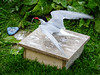 Arctic Tern with food