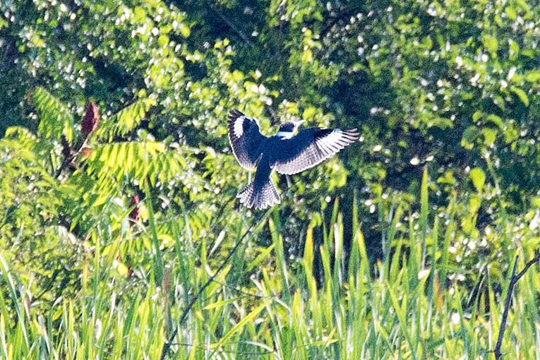 _DSC2093 Belted Kingfisher