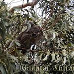 Viajefilos en Australia. Kangaroo 16