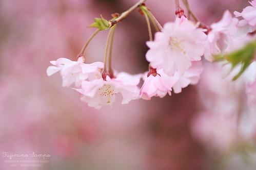 しだれ桜 20150403-IMG_9492