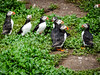 Group of puffins (2)