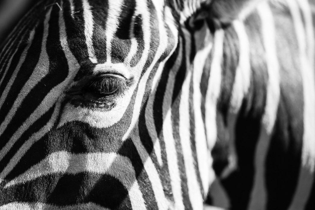 Imagen gratis de un ojo de una zebra