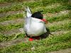 Tern on the path