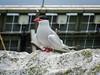 Arctic Tern close-up (4)