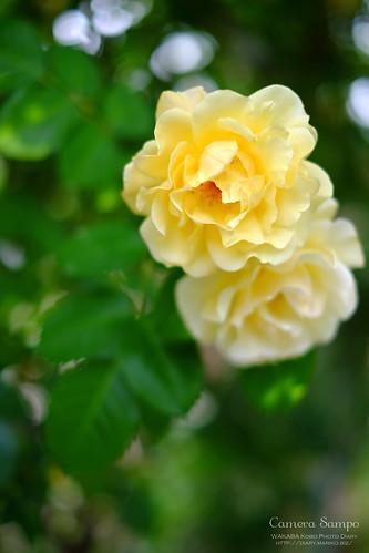 薔薇 20150522-DSCF3498