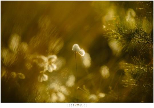 Warme kleuren ontstaan als het zonlicht door het gras en het veenpluis heen schijnt