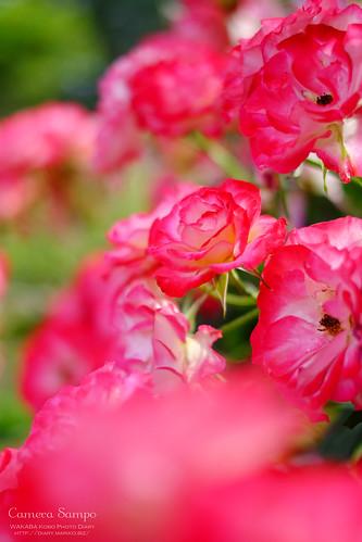 薔薇 20150522-DSCF3570