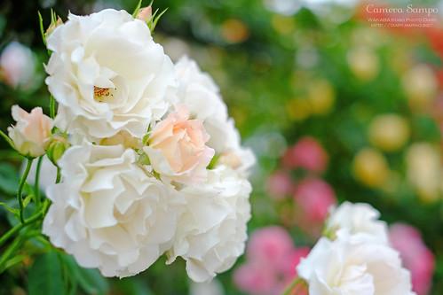薔薇 20150522-DSCF3513_2